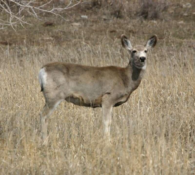 Mule deer posing for the camera in a field.
