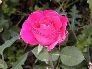 Closeup of a pink rose.
