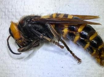 Washington murder hornet Asian giant hornet