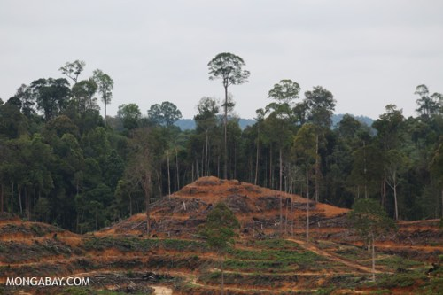 Forest freshly destroyed for an oil palm plantation in the Leuser ecosystem, an area that is home to endangered orangutans, tigers, rhinos, and elephants.