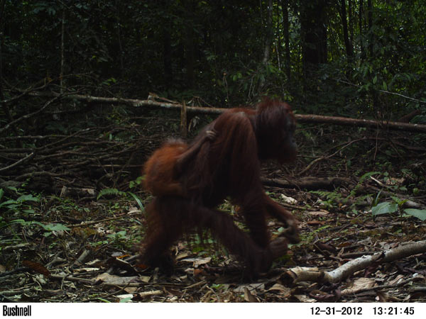 A female orangutan with a baby walks down a newly built logging road. Photo credit: Brent Loken.