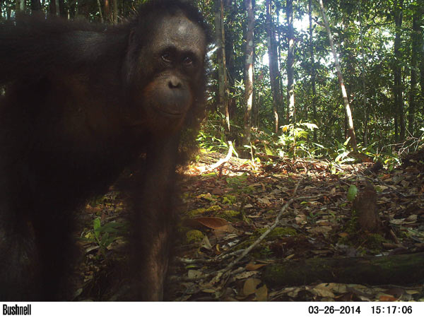 Well grounded: orangutans are more terrestrial than previously thought