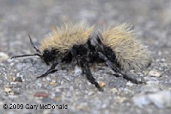 Velvet Ant Cowkiller