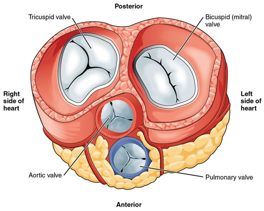 Mitral Valve Replacement Valves