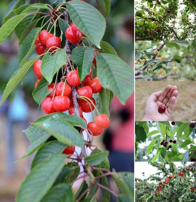 Living in a State of Great Taste    HeathersDish.com #stateofgreattaste #puremichigan #cherries