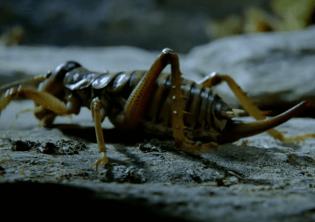 New Zealand's Stone Weta – Genuine Cryogenics