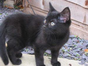 Hugh the black kitten.