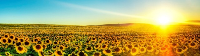 banner-sunflowerfield