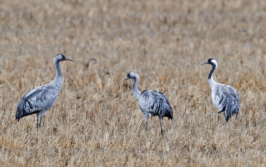 Hebridean Imaging - Yvonne Benting - Bird Photography - Spain - Common Cranes - La Janda