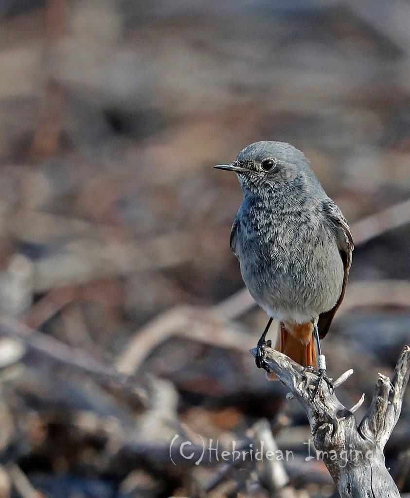 Hebridean Imaging - Yvonne Benting - Bird Photography - Spain - Black Redstart - La Janda