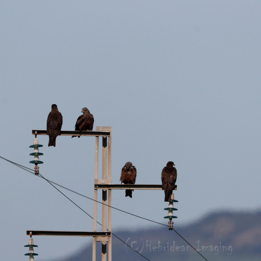 Hebridean Imaging - Yvonne Benting - Bird Photography - Spain - Black Kites - La Janda