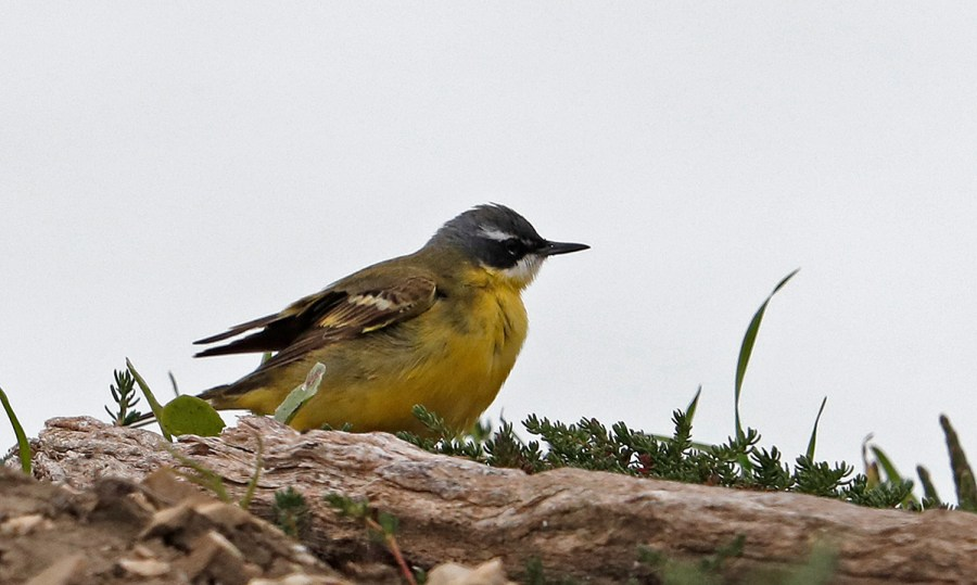 Hebridean Imaging - Yvonne Benting - Bird Photography - Spain - Yellow Wagtail - Barbate