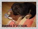 Hedeforsens Yxa (Ambra) 9 veckor