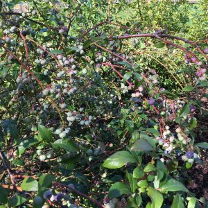 Growing blueberry plants