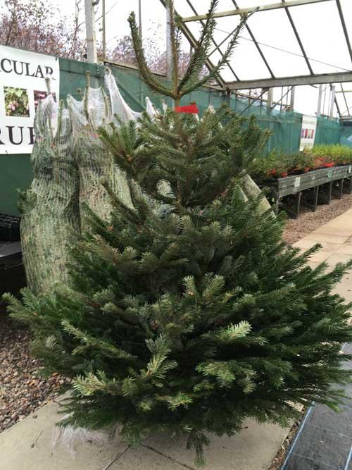 Scottish Christmas Trees