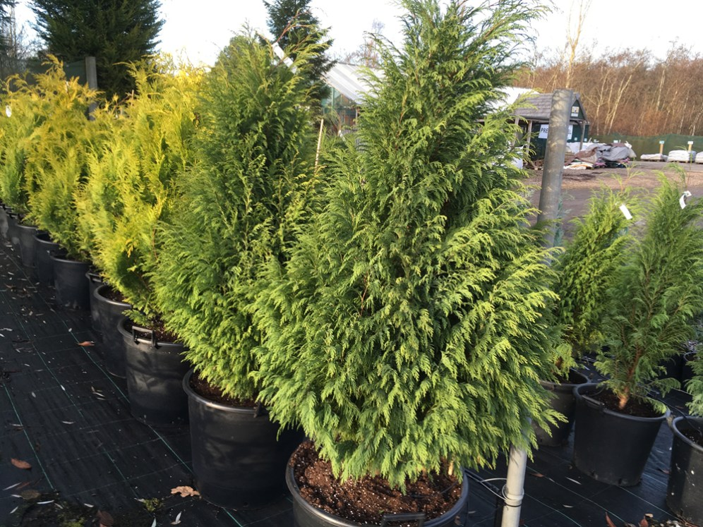 Buy Big Conifers Hedgehogs Nursery
