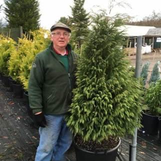 large conifers