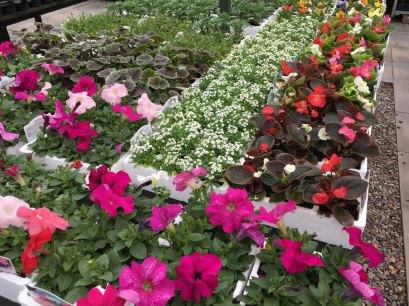 Colourful Petunias
