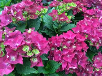 Hydrangea Royal Red