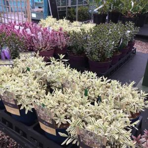 evergreen plants for spring gardens