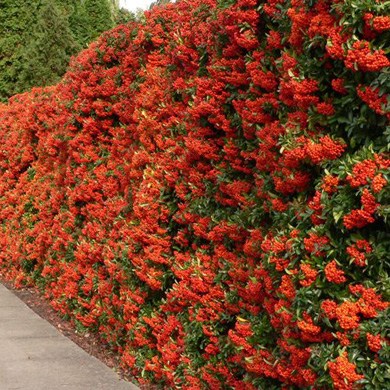 Red Pyracantha Hedging