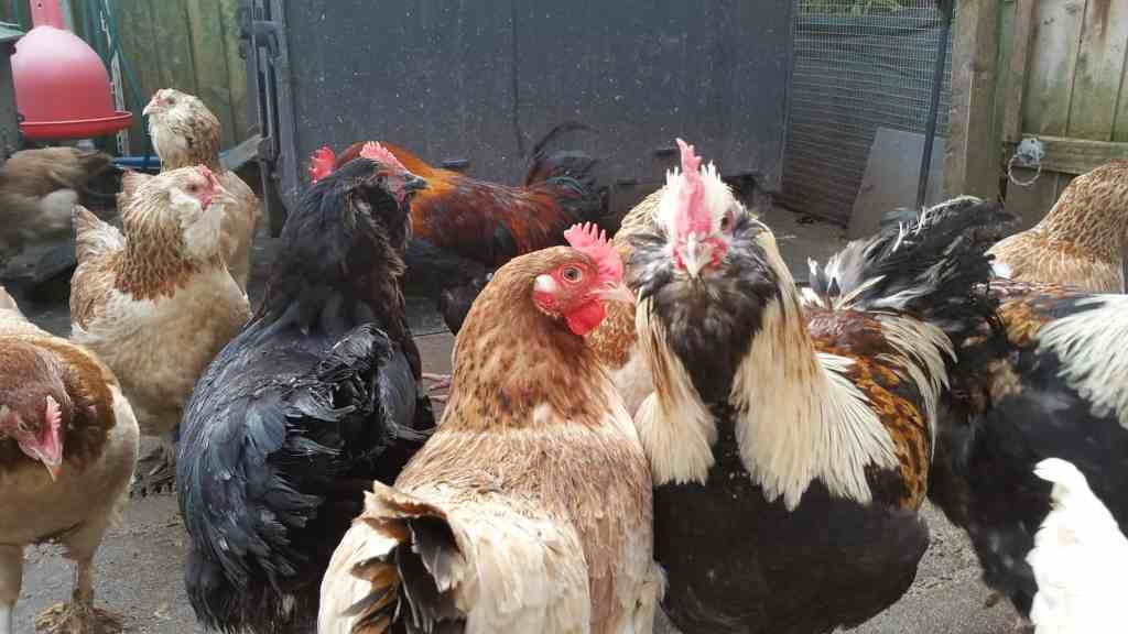Chickens in a group