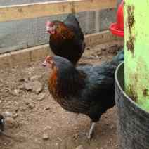 A pair of lovely Black Rock hens