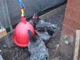 young Blue Cochin hen and Cockerel