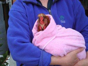 Chicken after a bath