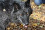 Wolf Science Center: Kaspar (Foto Wolf Science Center)