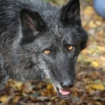 Wolf Science Center: Kaspar (Foto Wolf Science Center)