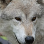 Wolf Science Center: Nanuk (Foto Wolf Science Center)