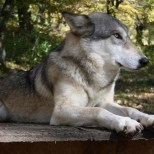 Wolf Science Center: Thala (Foto Wolf Science Center)