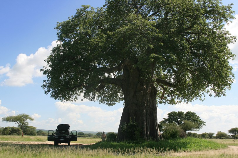 Tanzanie - Baobab du braconnier