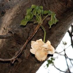 Malawi - Fleur de Baobab africain