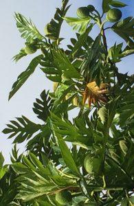 Breadfruit in Hawaii