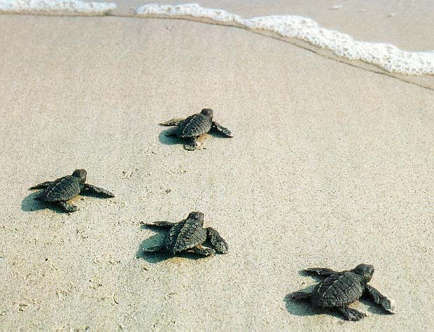 photograph of baby turtles
