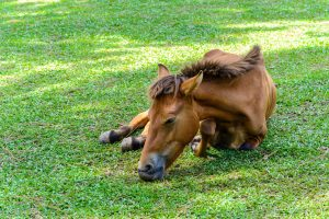 Broken leg horse eating grass in a farm
