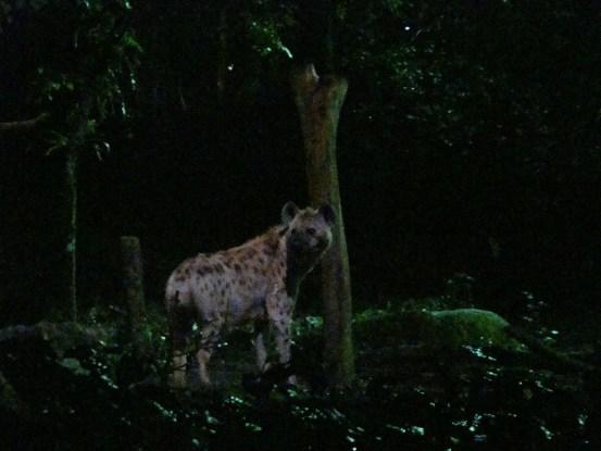 Singapore Night Safari Hyena