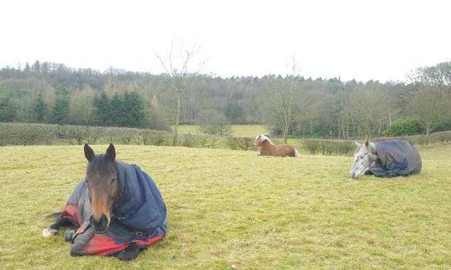 Ponies lying down