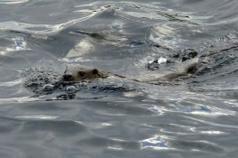 Otter in seinem Element - Foto: Georg Rekers