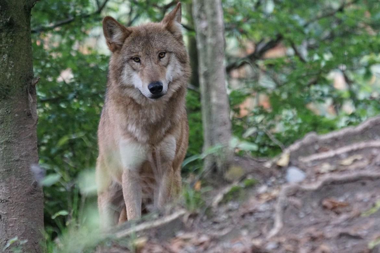 Foto eines Wolfs