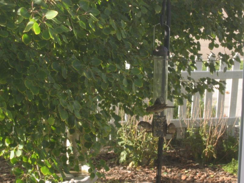 Three female finches perched on my front yard bird feeder