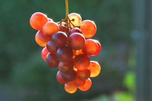 cluster of red grapes