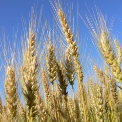 Ripe wheat ears
