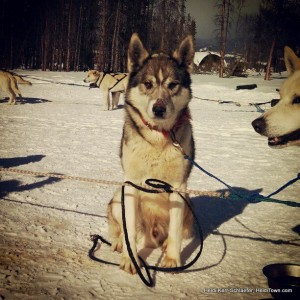 Sled Dog at Dog Sled Rides Feb 2013 HeidiTown.com
