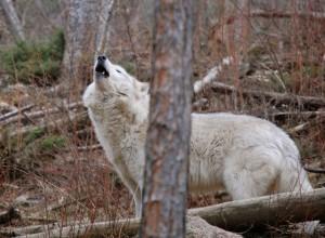 Peta howling at WOLF