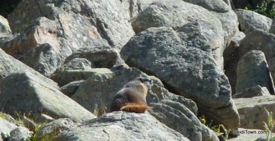 marmot at top of Copper Mtn Heidi Kerr-Schlaefer