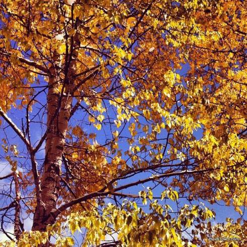 aspen tree at Telluride Ski Resort