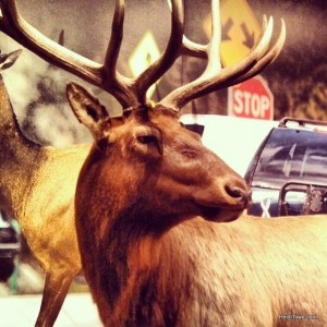 A lifesized photo of a Colorado Elk at History Colorado in LIving West. HeidiTown.com